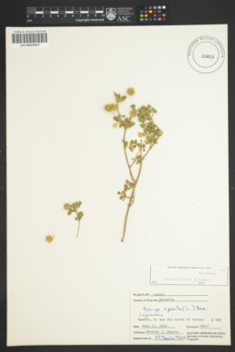 Image of Medicago rigidula
