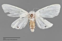 Spilosoma virginica image