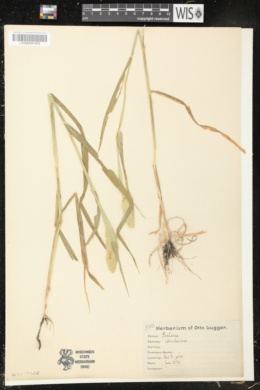 Phleum subulatum image