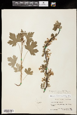 Ribes aureum var. villosum image