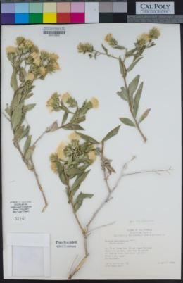 Trixis californica var. californica image