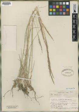Muhlenbergia metcalfi image