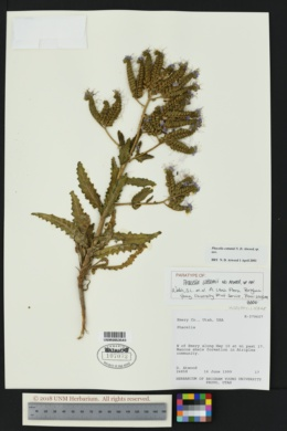 Image of Phacelia cottamii