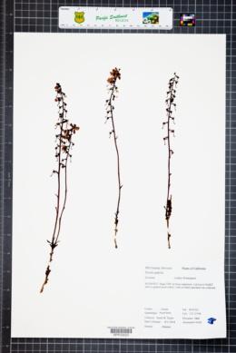 Pyrola aphylla image