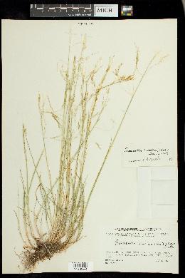 Puccinellia arctica image