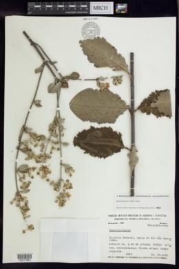 Banisteriopsis irwinii image