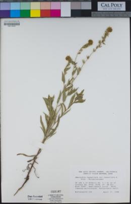 Amsinckia tessellata image