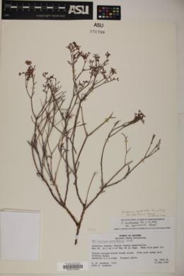 Eriogonum leptocladon var. papiliunculi image