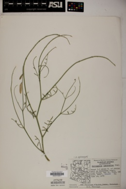 Astragalus episcopus image