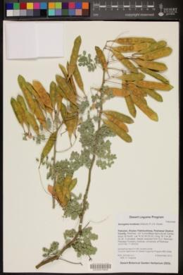 Image of Senegalia modesta