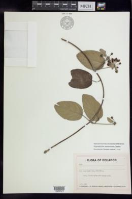 Stigmaphyllon sarmentosum image