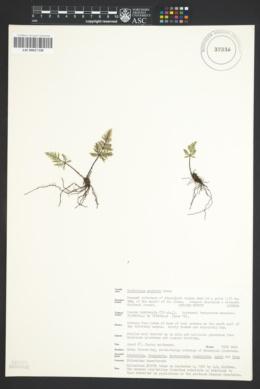Notholaena neglecta image
