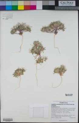 Langloisia setosissima image