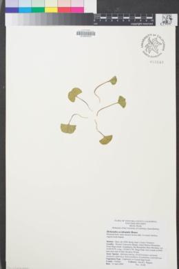 Image of Dichondra occidentalis