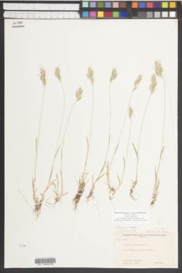 Bromus hordeaceus subsp. pseudothominei image