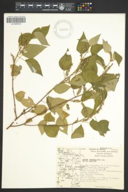 Image of Acalypha membranacea