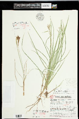 Image of Carex x limosoides