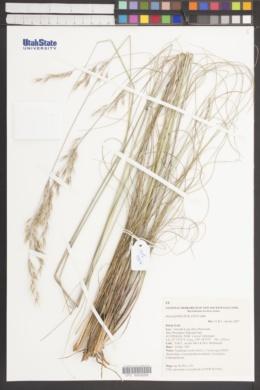 Image of Rytidosperma pallidum