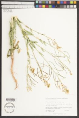 Thelypodiopsis divaricata image