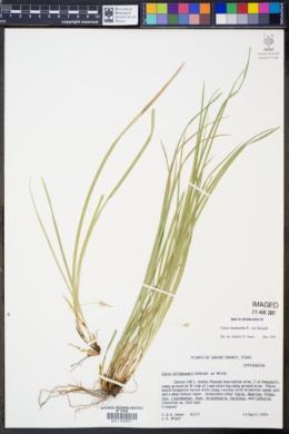 Image of Carex basiantha