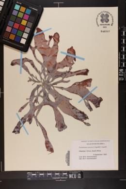 Pachymenia carnosa image