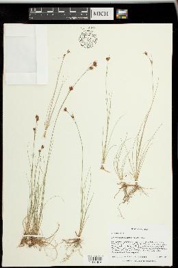 Image of Rhynchospora pleiantha