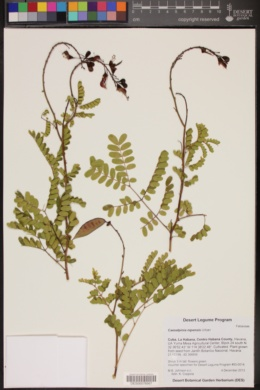 Image of Caesalpinia nipensis