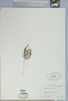 Chamaesyce micromera image