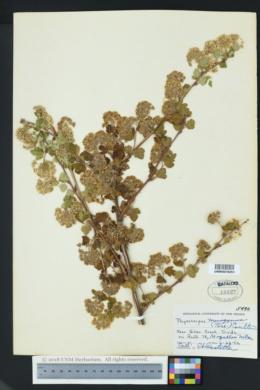 Physocarpus monogynus image