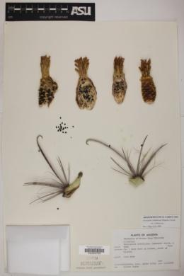 Ferocactus acanthodes var. acanthodes image