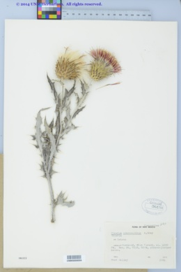 Cirsium ochrocentrum subsp. martinii image
