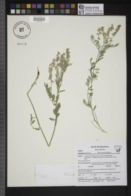 Astragalus caricinus image