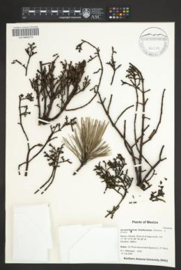 Arceuthobium hondurense image