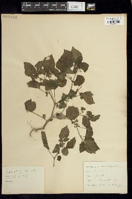 Image of Physalis rotundata