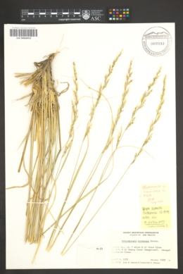 Muhlenbergia virescens image