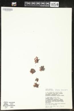 Drosera brevifolia image