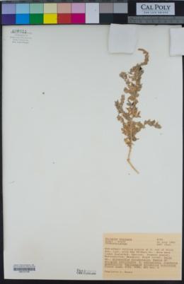 Atriplex serenana image