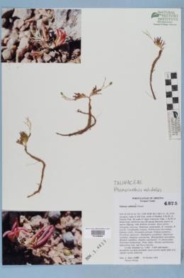 Phemeranthus validulus image