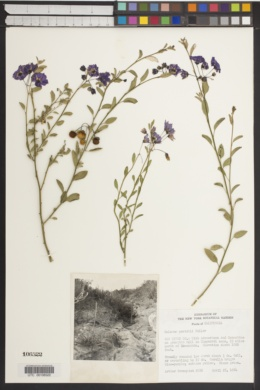 Solanum parishii image