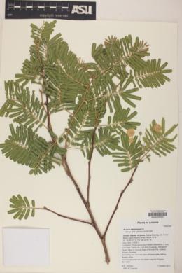 Image of Acacia sieberiana