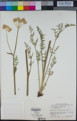 Sphenosciadium capitellatum image