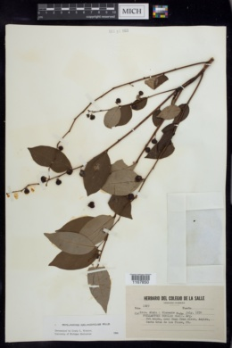 Image of Phyllanthus juglandifolius