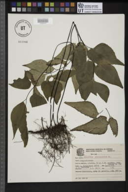Image of Adiantum platyphyllum