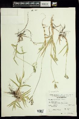 Image of Urochloa meziana