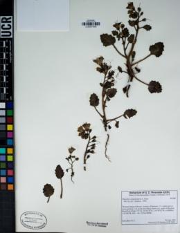 Phacelia campanularia image