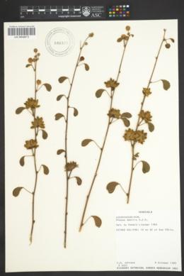Mimosa casta image