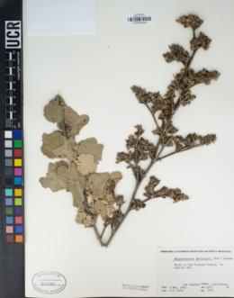 Image of Malacothamnus davidsonii