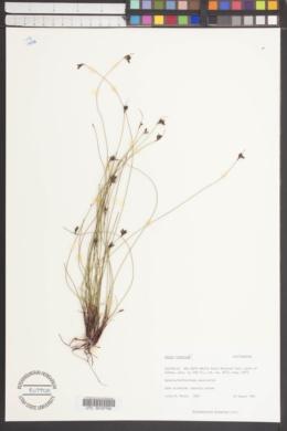 Image of Restio fimbriatus