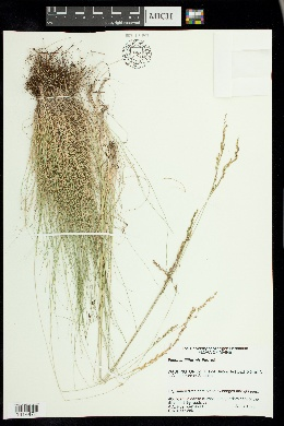 Festuca filiformis image