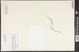 Puccinellia deschampsioides image